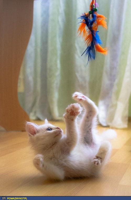Kocia zabawa z piórami